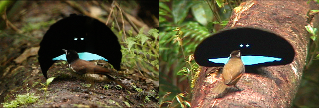 The raised cape of the newly discovered western male (left) is crescent shaped and unlike the oval shape of the widespread Superb Bird-of-Paradise (right) found throughout most of New Guinea. Left image © Tim Laman ML 62126951. Right image © Ed Scholes ML 458003